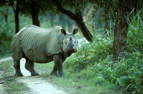 Assam Rhino, Kaziranga