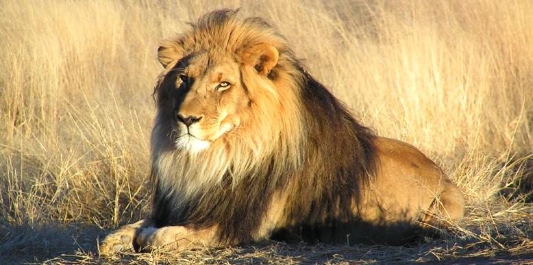 The Lion King, Gir National Park, Gujarat, India